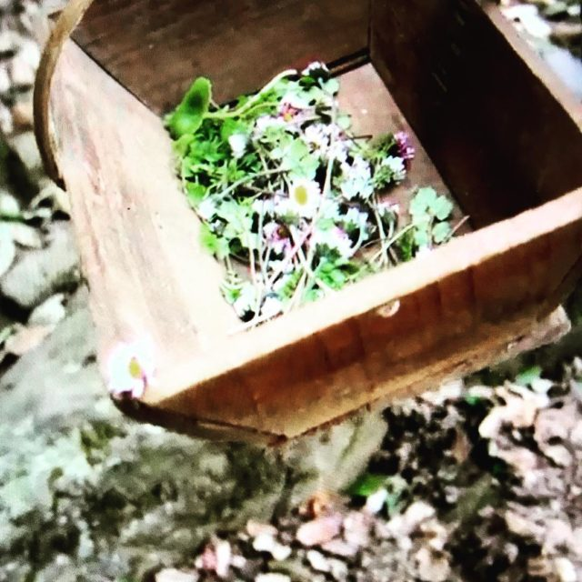 foraging flowers herbs for salad in Apricale liguria italy chefhellip